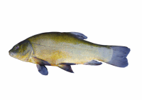 tench